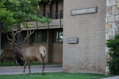 Een van de herten bij de Thunderbird Lodge