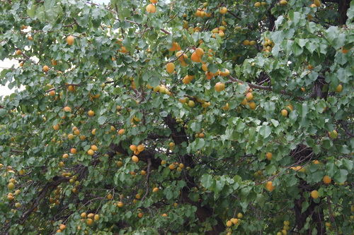 Lekkere abrikozen