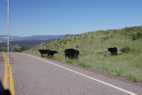 Koeien langs de weg van Torrey naar Bryce Canyon NP
