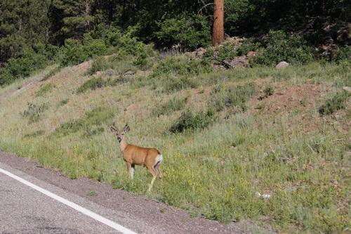 Hertje langs de weg van Torrey naar Bryce Canyon NP