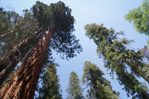 Veel sequoias in Mariposa Grove